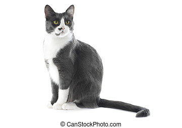 Gray Cat isolated on white