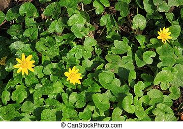 Lesser celandine - Blooming lesser celandine (Ficaria verna,...
