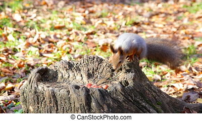 squirrel chooses one of several nuts lying on a stub