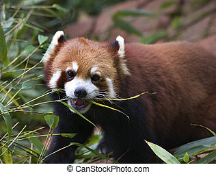 Red Panda Shining Cat Eating Bamboo Panda Breeding Center...