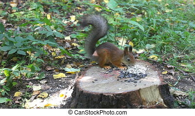 red squirrel on hemp eats sunflower seeds