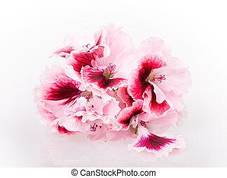 geranium flower isolated on white background