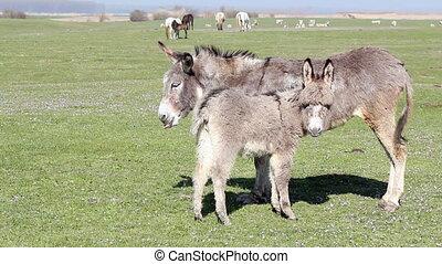 donkey on pasture