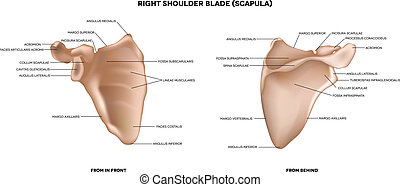 Shoulder blade (scapula). Detailed medical illustration from...