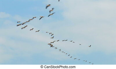 Birds - Pelicans - Birds - Colonies of pelicans flying in...