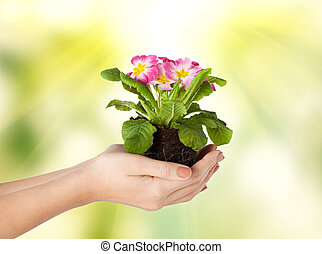 woman's hands holding flower in soil - close up of woman's...