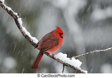 Northern cardinal in snow storm