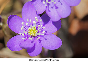Blue Hepatica Nobilis Flower - Blue Hepatica nobilis flower...