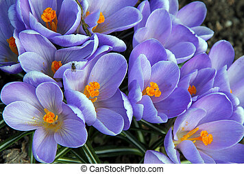 Purple Crocus Flowers - Flowers of purple Crocuses Crocus...