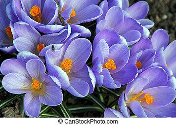 Purple Crocus Flowers - Flowers of purple Crocuses (Crocus...