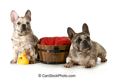 dirty dogs - two french bulldogs ready for a bath isolated...
