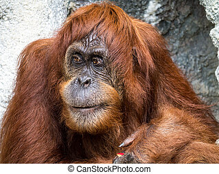 Orangutan - An orangutan great ape with a funny expression