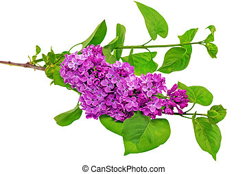 Beautiful Lilac on table. Isolated over white . - Beautiful...