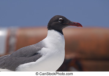 Laughing Gull - Close up of Laughing Gull Leucophaeus...