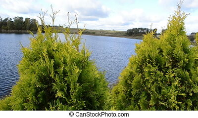 thuja plant lake water