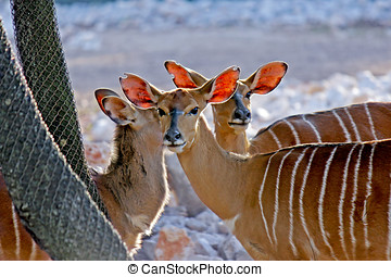 gazelles of Africa - Three gazelles of Africa