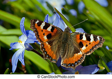 Small Tortoiseshell and Siehe's Glory-of-the-Snow - The...
