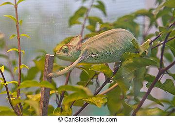 camaleón, rama