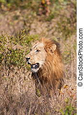 Male lion walk in brown grass