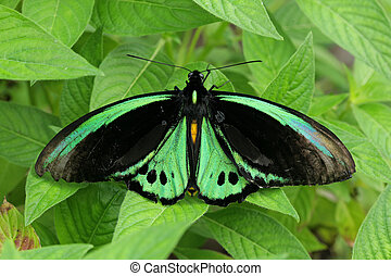 Green butterfly on leaves - Beautiful green butterfly on...