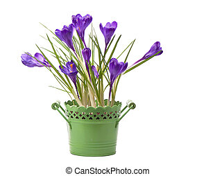 crocuses spring flowers in a green pot