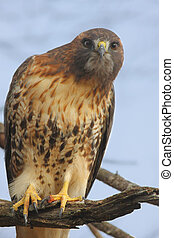 Perched Red-tailed Hawk - Red-tailed Hawk buteo jamaicensis...