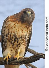 perched, vermelho-red-tailed, falcão