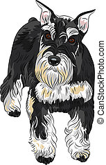 Vector dog breed Miniature Schnauzer black and silver color...