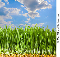 Young Wheat in Herb - Germs of young wheat in herb