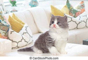 Lovely Persian kitten at home - Lovely Persian kitten...
