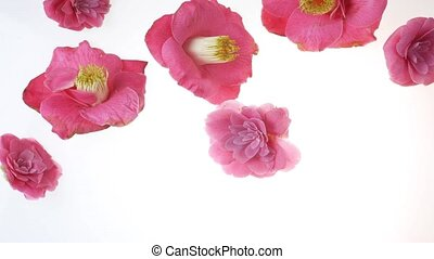 falling flowers in stop motion - camellia flowers falling...