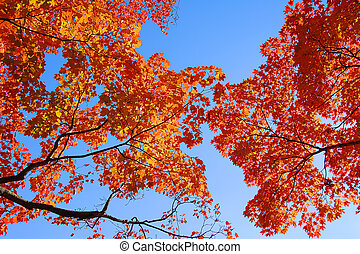 Orange Maple Tree Fall Foliage