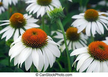 white Echinacea coneflower flower - white...