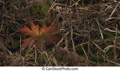 Wild Geranium Fall Colors Leaf - A single wild geranium leaf...