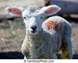 Scruffy Cute Lamb with Big Ears