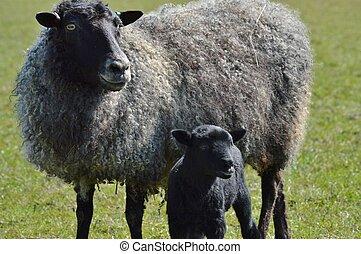 Un, gotland, oveja, cordero