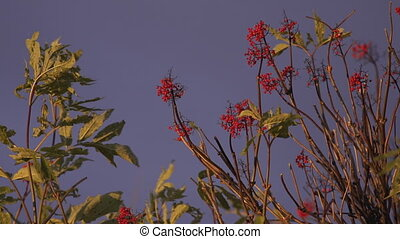 Red Elderberries Waving in Breeze - Red Elderberries in late...
