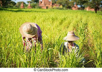 tradicional, asiático, granjeros, trabajando
