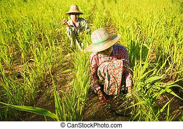 traditionelle, asiatisch, Landwirte