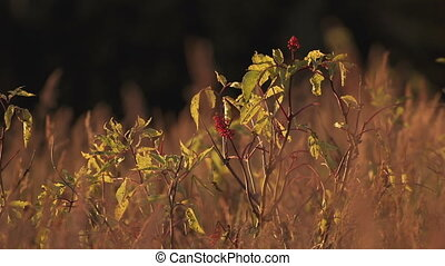 Elderberry in Waving Evening Grass - Red Elderberries in...
