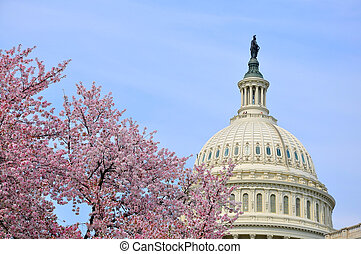 US Capitol in cherry bloom - Its peak bloom of Washington...