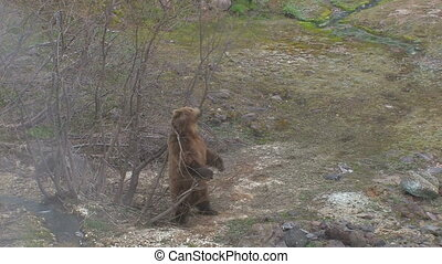 Brown bear Courtship Marking