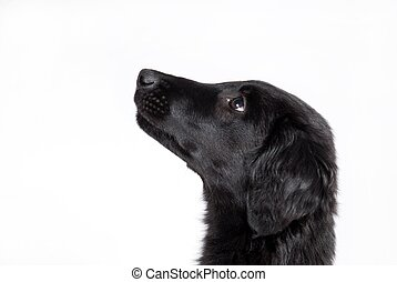 observant black puppy - an observant black puppy, cutout of...