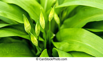 Wild garlic with bloom, Allium ursinum