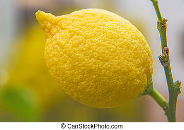 citron at a tree