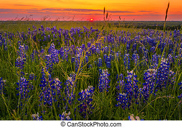 Bluebonnets at Sunset near Ennis, TX - Bluebonnets and...