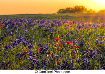 Bluebonnets and Indian Paintbrushes near Ennis, TX - Texas...