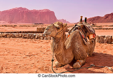 Camel in the desert of Jordan Wadi Rum