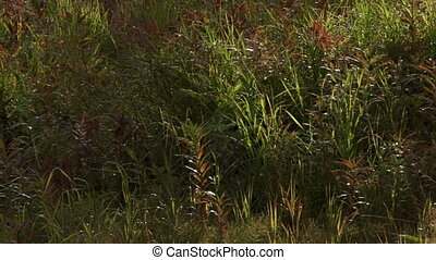 Autumnal Waving Grasses and Fireweed - It is mid-September,...