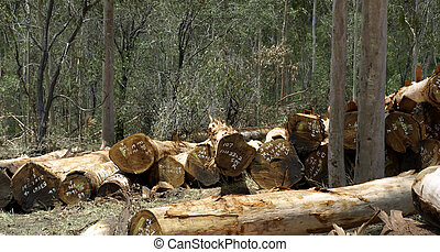Logging spotted gum Eucalyptus Corymbia citriodora - spotted...